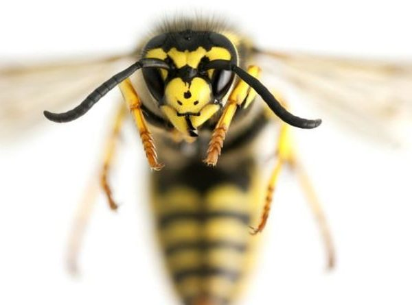 Wasp sting: What can I put on a wasp sting – Simple home remedies
